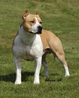 Terrier University: American Staffordshire Terrier: The Breed